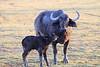 Cape_Buffalo_Amboseli_Elewana__0018