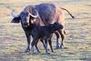 Cape_Buffalo_Amboseli_Elewana__0015
