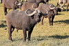 Cape_Buffalo_Amboseli_Elewana__0004