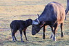 Cape_Buffalo_Amboseli_Elewana__0013