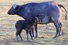 Cape_Buffalo_Amboseli_Elewana__0014