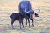 Cape_Buffalo_Amboseli_Elewana__0019