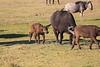 Cape_Buffalo_Amboseli_Elewana__0003