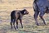 Cape_Buffalo_Amboseli_Elewana__0030