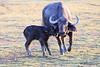 Cape_Buffalo_Amboseli_Elewana__0020