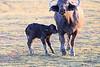 Cape_Buffalo_Amboseli_Elewana__0021