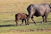Cape_Buffalo_Amboseli_Elewana__0007