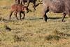 Cape_Buffalo_Amboseli_Elewana__0005