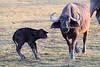 Cape_Buffalo_Amboseli_Elewana__0012