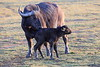 Cape_Buffalo_Amboseli_Elewana__0016