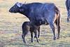 Cape_Buffalo_Amboseli_Elewana__0009