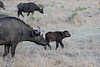 Cape_Buffalo_Mara_North_Elewana__0023