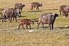 Cape_Buffalo_Amboseli_Elewana__0006
