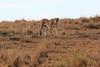 Cheetah_Mara_Reserve_Asilia__0048