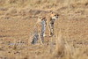 Cheetah_Mara_Reserve_Asilia__0053