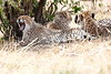 Cheetah_Mara_Reserve_Asilia__0044