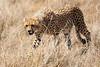 Cheetah_Mara_Reserve_Asilia__0023