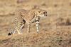 Cheetah_Mara_Reserve_Asilia__0054