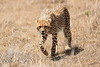 Cheetah_Mara_Reserve_Asilia__0021