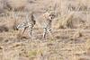Cheetah_Mara_Reserve_Asilia__0049
