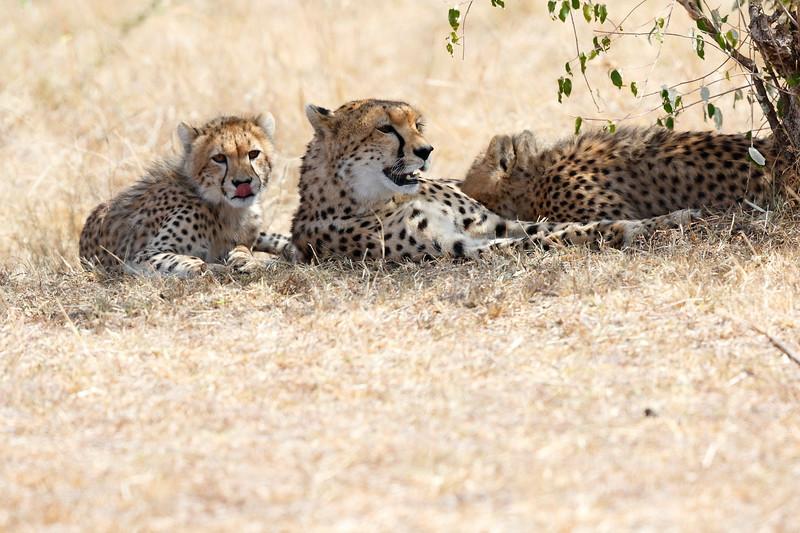 Cheetah_Mara_Reserve_Asilia__0040