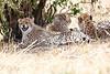 Cheetah_Mara_Reserve_Asilia__0046