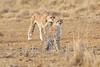 Cheetah_Mara_Reserve_Asilia__0052