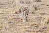 Cheetah_Mara_Reserve_Asilia__0050