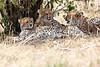 Cheetah_Mara_Reserve_Asilia__0042