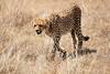 Cheetah_Mara_Reserve_Asilia__0022