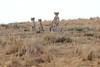 Cheetah_Mara_Reserve_Asilia__0047