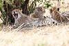 Cheetah_Mara_Reserve_Asilia__0045