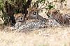 Cheetah_Mara_Reserve_Asilia__0043