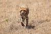 Cheetah_Mara_Reserve_Asilia__0020