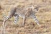 Cheetah_Mara_Reserve_Asilia__0051