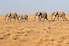 Elephants_Amboseli_Elewana__0049