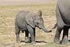 Elephants_Amboseli_Elewana__0027