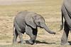 Elephants_Amboseli_Elewana__0029