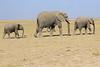 Elephants_Amboseli_Elewana__0037