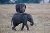 Elephants_Mara_North_Elewana__0031