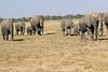 Elephants_Amboseli_Elewana__0012