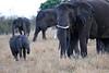Elephants_Mara_North_Elewana__0021