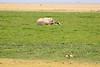 Elephants_Amboseli_Elewana__0042