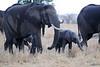 Elephants_Mara_North_Elewana__0027