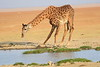 Giraffe_Amboseli_Elewana__0025