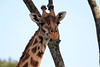 Giraffe_Mara_North_Elewana__0005
