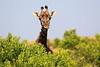 Giraffe_Mara_North_Elewana__0004