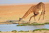 Giraffe_Amboseli_Elewana__0013