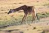 Giraffe_Mara_North_Elewana__0008
