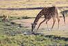 Giraffe_Mara_North_Elewana__0011